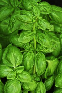 fresh lemon basil